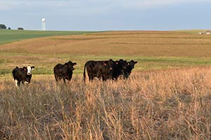 Cattle grazing in CRP field.