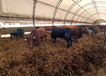 Cows and calves in hoop building.