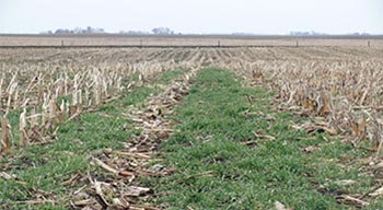 Cover crop in cornfield.