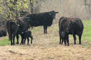 Black cows with black calves in field.