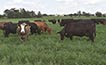 Cattle in pasture.