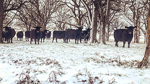 Cows grazing snow covered ground