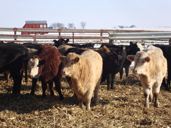 Cattle in feedlot.