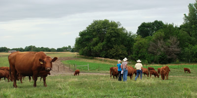 photo: Cattle graze while farmer and visitors walk through the herd.