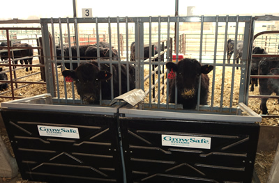 Steers on a research trial at ISU Beef Nutrition Farm