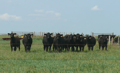 photo: Stocker heifers out on pasture for the summer