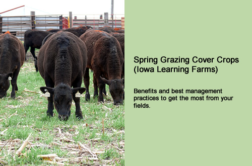 Spring grazing cover crops