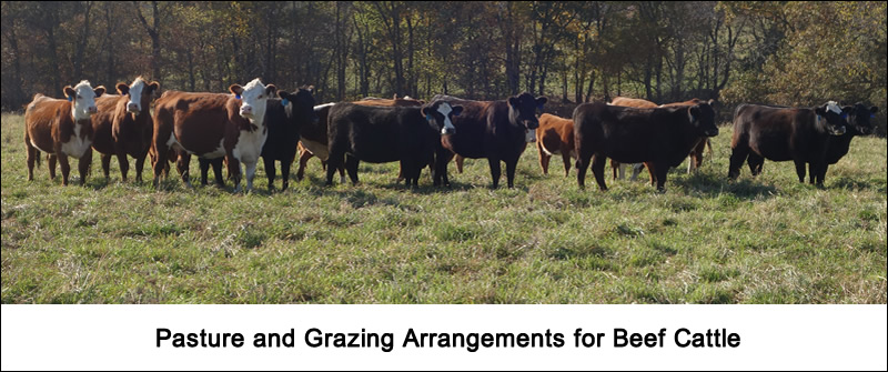 Pasture and Grazing Arrangements for Beef Cattle