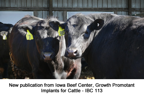Beef cattle with properly placed implants