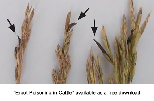 Ergot poisoning in cattle publication available